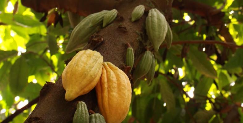 Kakaobaum mit seinen Früchten